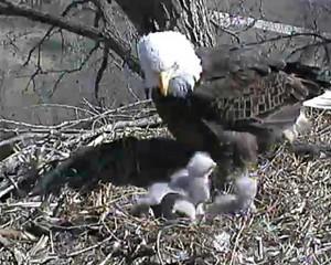 Eagles In Iowa?