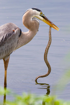 Great Blue Heron Wins Battle With Cottonmouth Water Moccasin Tee