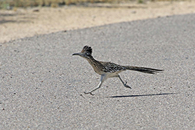 Roadrunner Breaks An 'Egg'
