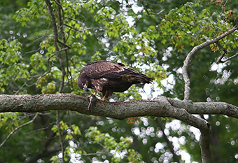 Teenaged Bald Eagle Eating Lunch