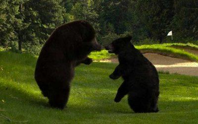 Bears At Northwood Hills